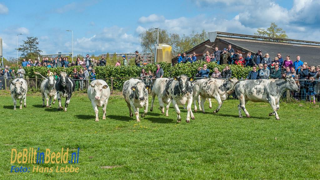 Dansende Koeien Nieuw Burenveld De Bilt