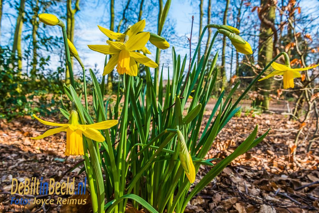 Eerste bloeiende narcissen in Voordaan