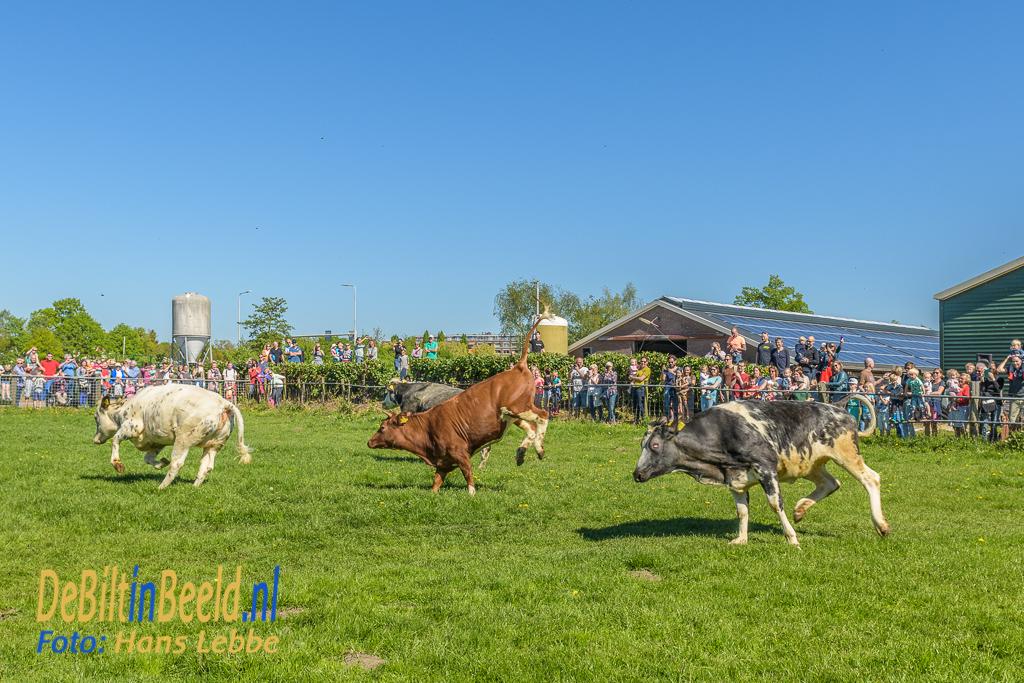 Koeiendans Boerderij Nieuw Bureveld De Bilt